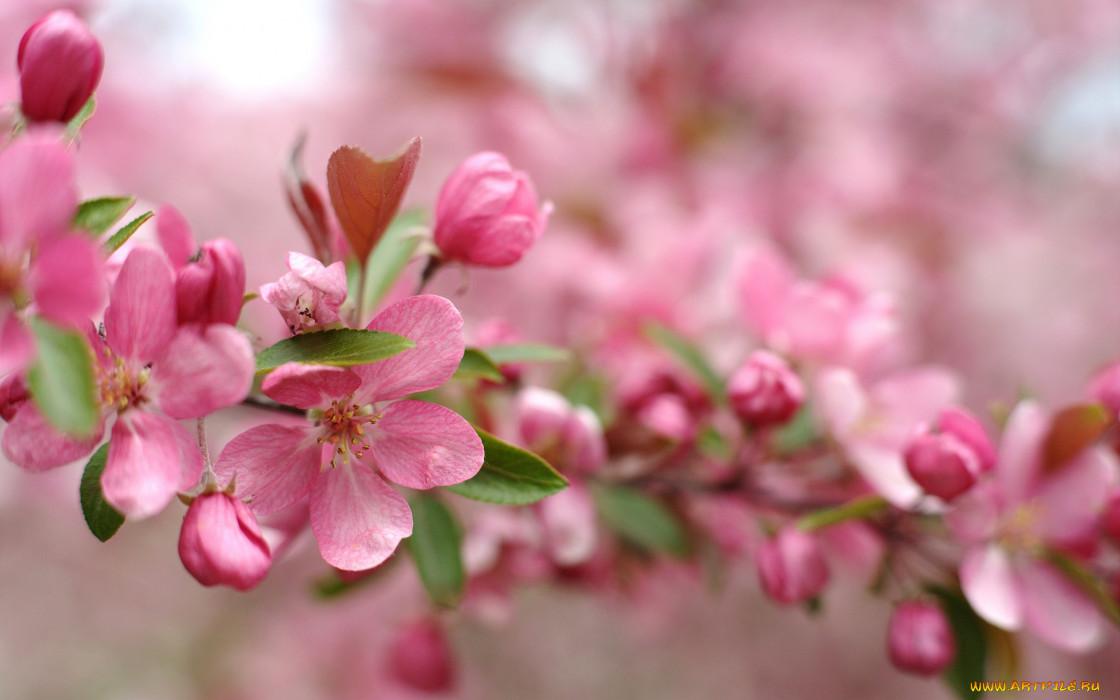 цветы, цветущие деревья ,  кустарники, розовый, цветение, ветка, весна